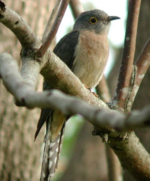 normal_Fan-tailed_Cuckoo-1